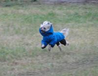 китайск5ая хохлатая собака